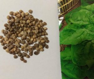 Семена шпината