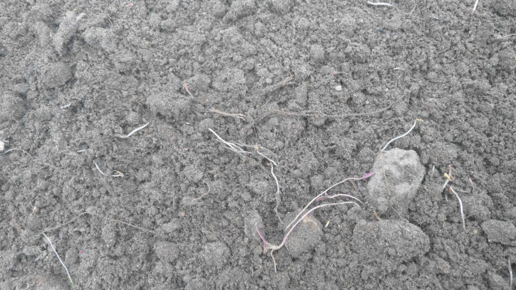 Проростки сорняков в фазе ниточки