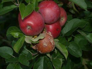 Болезни плодовых культур
