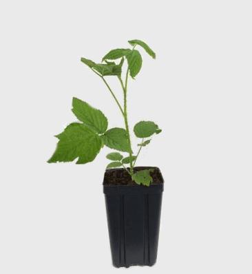 Посадочный материал малины. Зеленый саженец с изолированной корневой системой