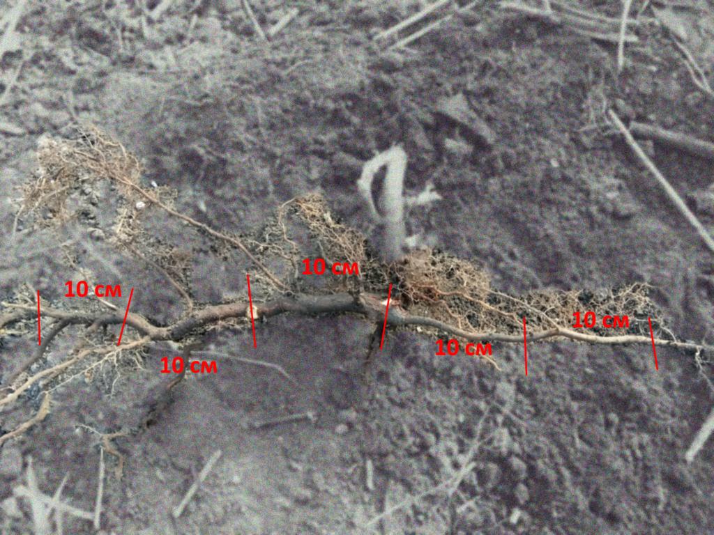 Размножение малины. Корневые черенки