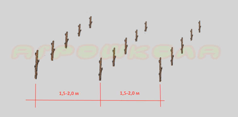 Посадка малины рядами
