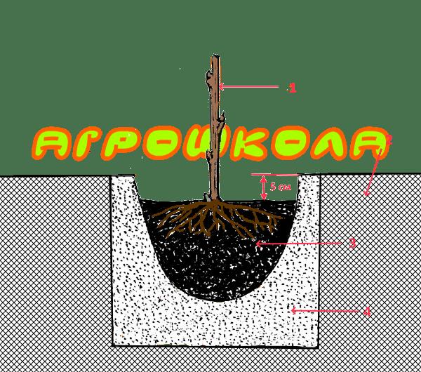 Высадка малины в подготовленную посадочную яму